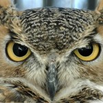 owl face , 6 Owl Interesting Facts In Birds Category