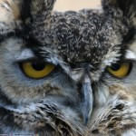 owl interesting facts for kids , 6 Owl Interesting Facts In Birds Category