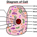 parts of cell , 5 Parts Of Cell Pictures In Cell Category