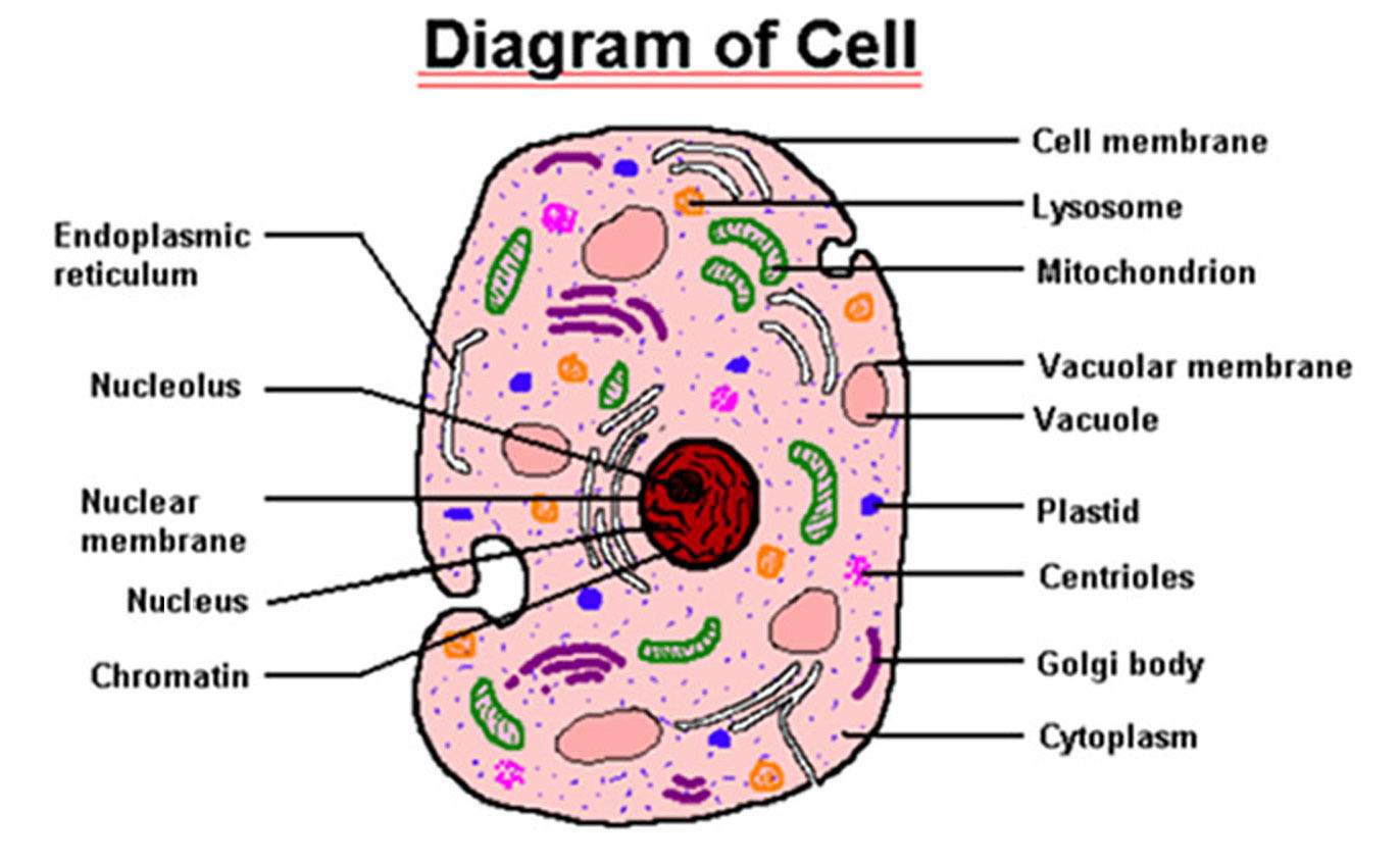 Parts of cell 5 parts of cell pictures biological science cell 5 parts of cell pictures parts of cell ccuart Images