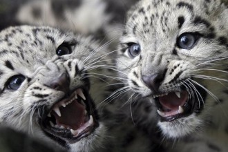 Pics Of Snow Leopards Fighting , 7 Pics Of Snow Leopards In Mammalia Category