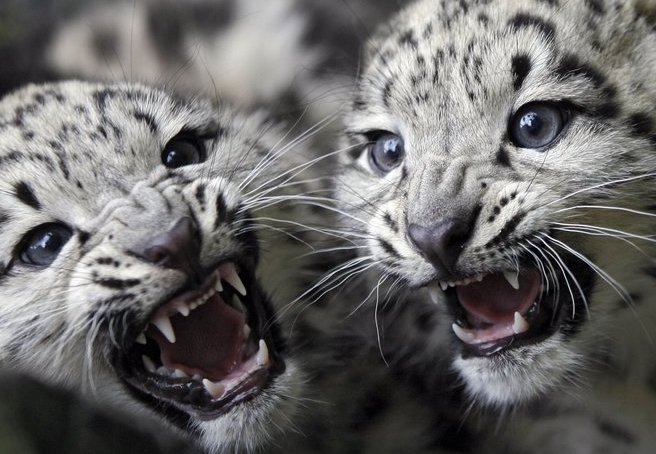 Mammalia , 7 Pics Of Snow Leopards : Pics Of Snow Leopards Fighting