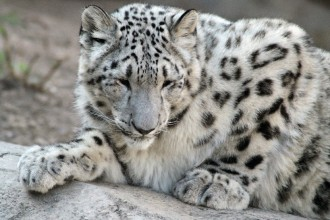 Pictures Of Snow Leopards Cubs , 7 Pics Of Snow Leopards In Mammalia Category