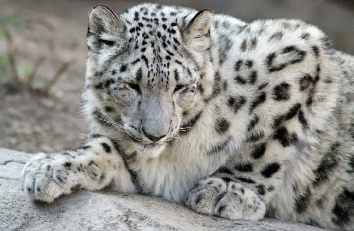 Mammalia , 7 Pics Of Snow Leopards : Pictures Of Snow Leopards Cubs