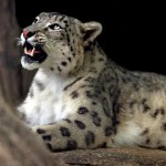pictures of snow leopards in the wild , 7 Pics Of Snow Leopards In Mammalia Category