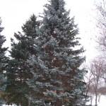 pine tree , 5 Pine Tree Photos In Plants Category