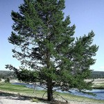 pine tree good , 5 Pine Tree Photos In Plants Category