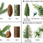pine tree identification guide , 4 Pine Tree Identification Key In Plants Category