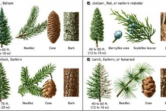 Pine Tree Identification Guide , 4 Pine Tree Identification Key In Plants Category