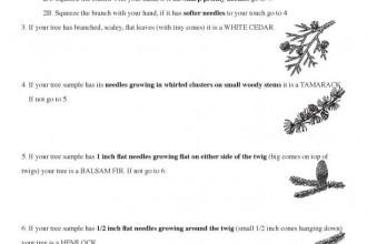 Pine Tree Identification Key , 4 Pine Tree Identification Key In Plants Category
