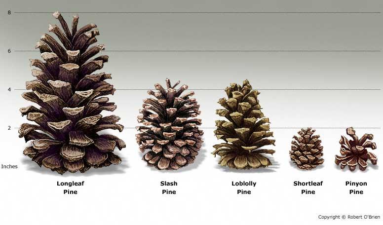 pine tree identification name