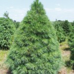 pine tree picture , 5 Pine Tree Photos In Plants Category