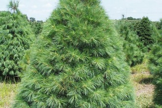 pine tree picture in Cell