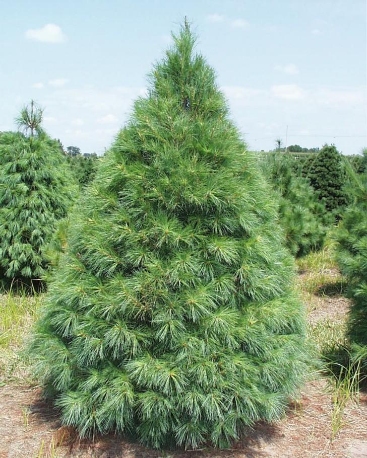 Plants , 5 Pine Tree Photos : Pine Tree Picture
