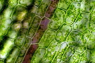 Plant Cell Microscope Lab , 8 Pictures Of Plant Cells Under A Microscope In Cell Category