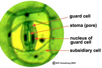 Plant Structure Stomata , 6 Plant Stomata Structure Pictures In Plants Category