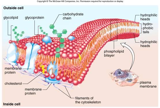 plasma membrane cell function pic 1