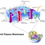 plasma membrane cell function pic 2 , 9 Pictures Of Plasma Membrane Cell Function In Cell Category