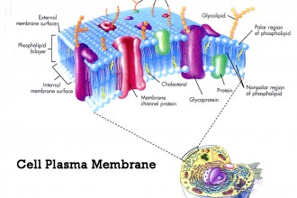 plasma membrane cell function pic 2 in Amphibia