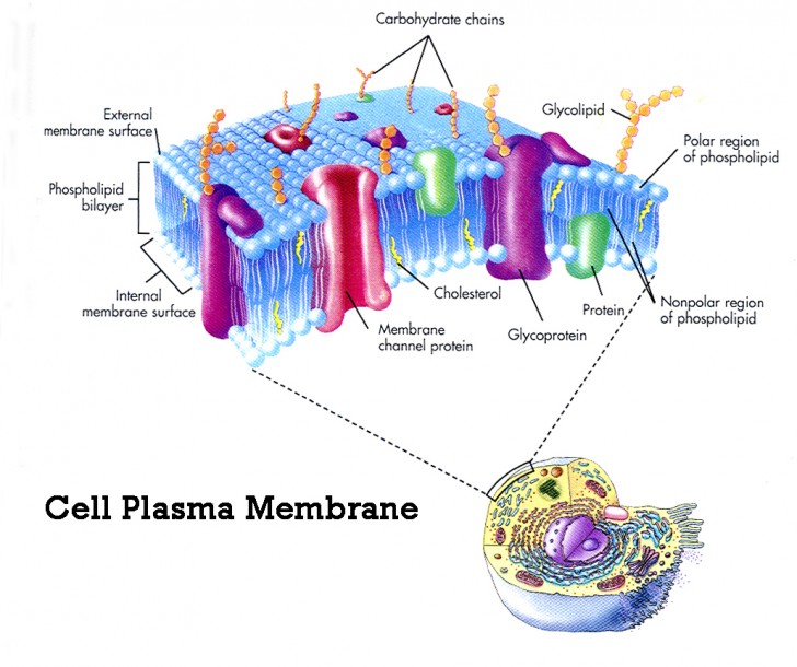 Cell , 9 Pictures Of Plasma Membrane Cell Function : Plasma Membrane Cell Function Pic 2