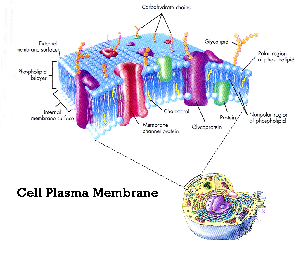 plasma membrane cell function pic 2 : Biological Science ...
