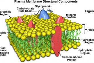 Plasma Membrane Cell Function Pic 4 , 9 Pictures Of Plasma Membrane Cell Function In Cell Category