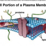 plasma membrane cell function pic 5 , 9 Pictures Of Plasma Membrane Cell Function In Cell Category