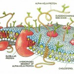 plasma membrane cell function pic 7 , 9 Pictures Of Plasma Membrane Cell Function In Cell Category