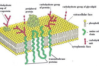 Plasma Membrane Cell Function Pic 8 , 9 Pictures Of Plasma Membrane Cell Function In Cell Category