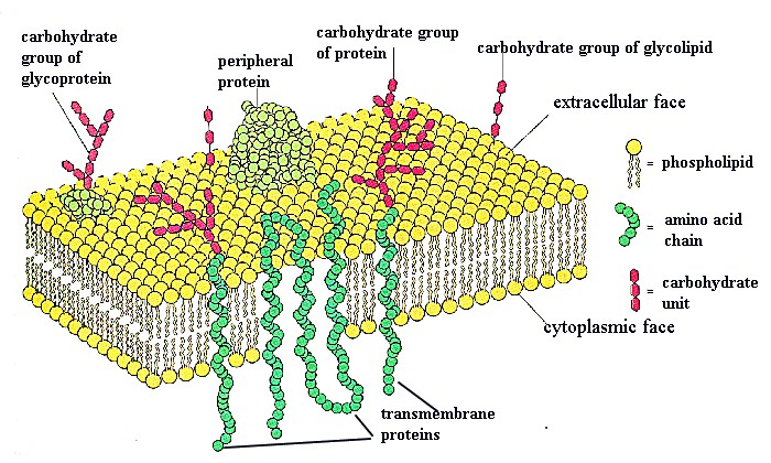 an overview on biological cell membranes and its classical experiments