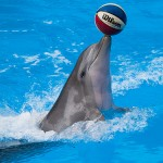 playful bottlenose dolphin , 6 Bottlenose Dolphin Facts For Kids In Mammalia Category