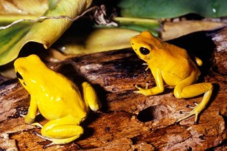 poison arrow frog in Birds