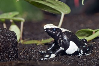 poison dart frog facts in Spider