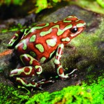poison dart frog facts for kids , 5 Poison Dart Frog Facts In Amphibia Category