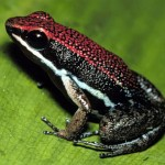 poison dart frog picture , 6 Poisonous Dart Frog In Amphibia Category