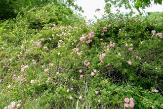 pruning wild roses in Dog