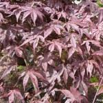 purple leaf japanese maple , 7 Maple Leaf Lawn Care In Plants Category