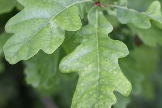 quercus robur leaf in Butterfly