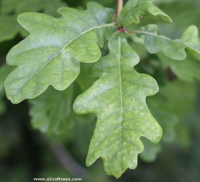 Plants , 6 Oak Tree Leaves : Quercus Robur Leaf