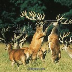 red deer antler velvet fact , 5 Red Deer Antler Velvet Photos In Mammalia Category