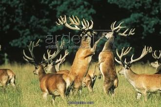 Red Deer Antler Velvet Fact , 5 Red Deer Antler Velvet Photos In Mammalia Category
