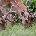 red deer antler velvet picture , 5 Red Deer Antler Velvet Photos In Mammalia Category