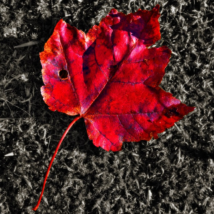 Plants , 7 Maple Leaf Lawn Care : Red Maple Leaf