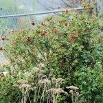 red rose before pruning , 8 Pruning Wild Roses In Plants Category