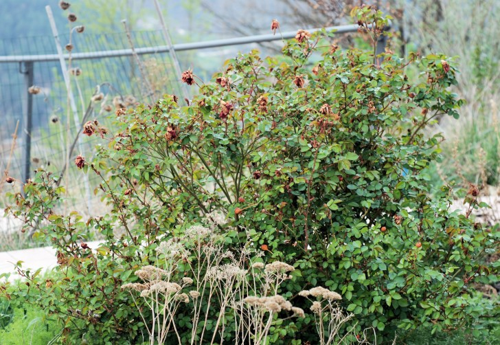 Plants , 8 Pruning Wild Roses : Red Rose Before Pruning