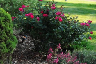 Red Wild Roses , 8 Pruning Wild Roses In Plants Category