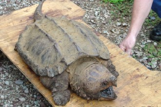 Reptiles Turtles Alligator , 6 Alligator Snapping Turtle Facts In Reptiles Category