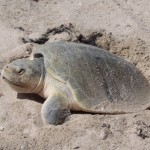 ridley sea turtle , 6 Kemp's Ridley Sea Turtle In Reptiles Category
