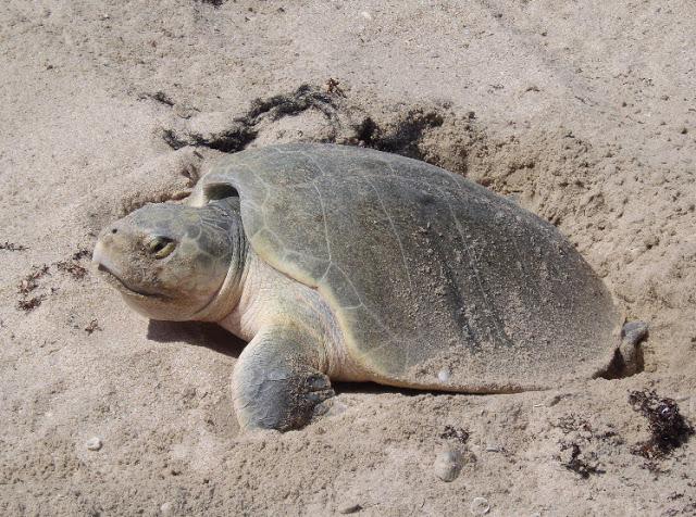 Reptiles , 6 Kemp's Ridley Sea Turtle :  Ridley Sea Turtle