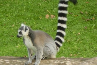 ring tailed lemur in Butterfly